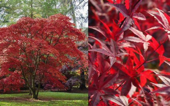 Acer palmatum 'Red Emperor'Japanese Maple - Mature size: 10-15' W x 10-15' HNotes: Fine textured, burgundy red foliage; graceful, arching habit; stunning fall color