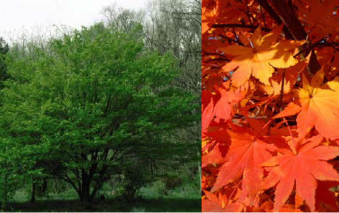 Acer pseudosieboldianumKorean Maple - Mature size: 15-25' W x 15-25' HNotes: Upright, small tree with lovely open branching; bright green, star-shaped leaves; excellent fall color in shades of yellow, orange and red