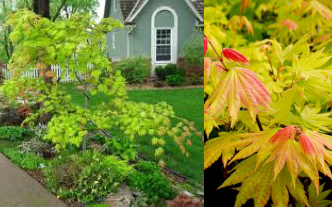 Acer shirasawanum 'Autumn Moon'*Full Moon Japanese Maple - Mature size: 6-8' W x 8-12' H