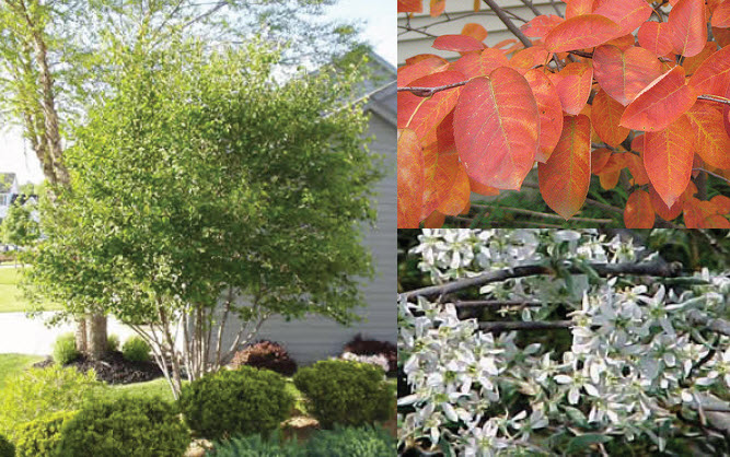 Amelanchier 'Autumn Brilliance'Serviceberry -