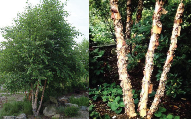 Betula nigra 'Heritage'River Birch - Mature size: 30-35' W x 40-50' HNotes: Extraordinary bark in shades ranging from tan to cream; clump form; large, upright, open habit; yellow fall color