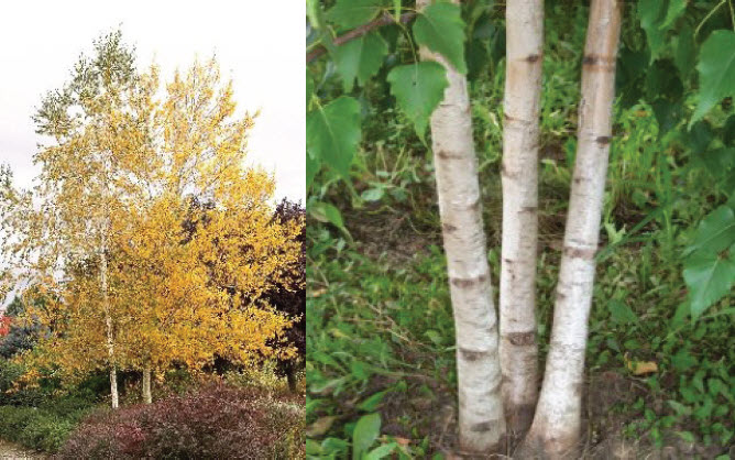 Betula populifolia 'Whitespire'Whitespire Birch - Mature size: 25' W x 30-40' HNotes: Narrow pyramidal white-barked birch; clump form; bark does not exfoliate; yellow fall color
