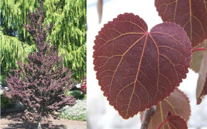 Cercidiphyllium 'Red Fox'Red Fox Katsura Tree - Mature size: 8-12' W x 12-15' HNotes: Upright tree with small, heart-shaped leaves; new foliage emerges a rich reddish-purple, eventually maturing to a greenish-bronze in summer; excellent yellow fall color