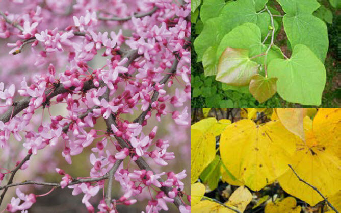 Cercis canadensisEastern Redbud - Mature size: 25-30' W x 20-25' HNotes: Heart-shaped leaves; rose-purple flowers in early spring; yellow fall color