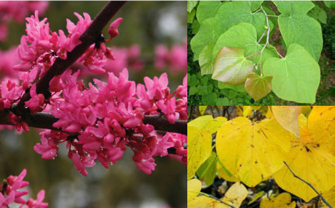 Cercis canadensis 'Appalachian Red'Eastern Redbud - Mature size: 25-30' W x 20-25' HNotes: Heart-shaped leaves; vibrant red to dark pink flowers in early spring; yellow fall color