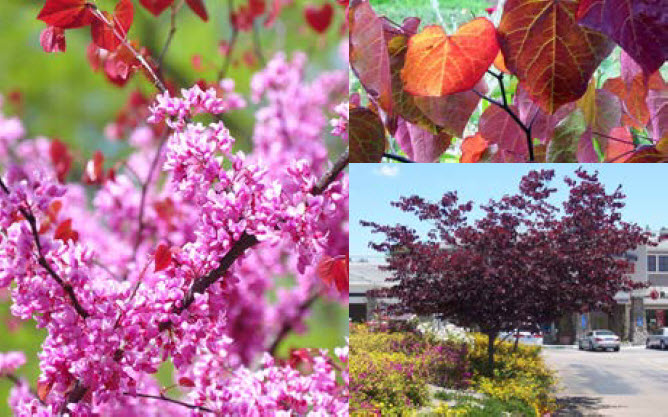 Cercis canadensis 'Forest Pansy'Eastern Redbud - Mature size: 25-35' W x 20-30' HNotes: Heart-shaped leaves mature from a reddish-purple to a purplish-green; rose-purple flowers in early spring; good fall color