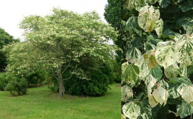 Cercis canadensis 'Silver Cloud'Eastern Redbud - Mature size: 25-30' W x 20-25' HNotes: White and green variegated heart-shaped leaves; rose-purple flowers in early spring; yellow fall color