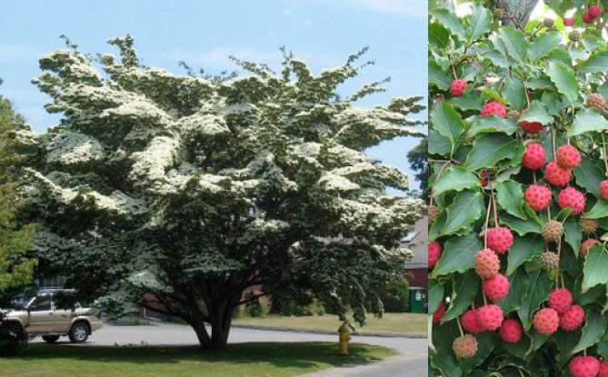 Cornus KousaKousa Dogwood - Mature size: 15-20' W x 20-30' HNotes: Small tree with abundant, creamy whiteflowers in spring; red fall color; exfoliating bark with age; strawberry-like fruits in the fall