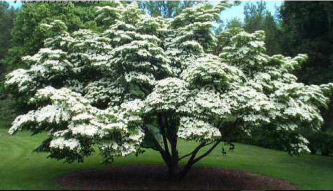 Cornus Kousa 'Milky Way'Kousa Dogwood - Mature size: 15-20' W x 20-30' HNotes: Small tree with abundant, creamy whiteflowers in spring; red fall color; exfoliating bark with age; strawberry-like fruits in the fall