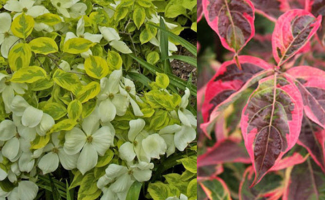 Cornus x. 'Celestial Shadow'Kousa Dogwood - Mature size: 15-20' W x 20-30' HNotes: Small tree with abundant, creamy whiteflowers in spring; yellow and green variegated leaves; exfoliating bark with age; strawberry-like fruits in the fall; striking red and burgundy fall color