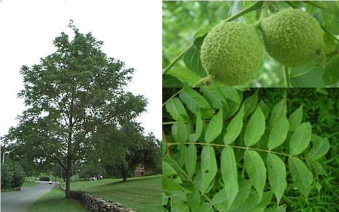 Juglans nigraBlack Walnut - Mature size: 50-60' W x 50-75' HNotes: Large upright tree with an open habit; produces large, hard-shelled nuts