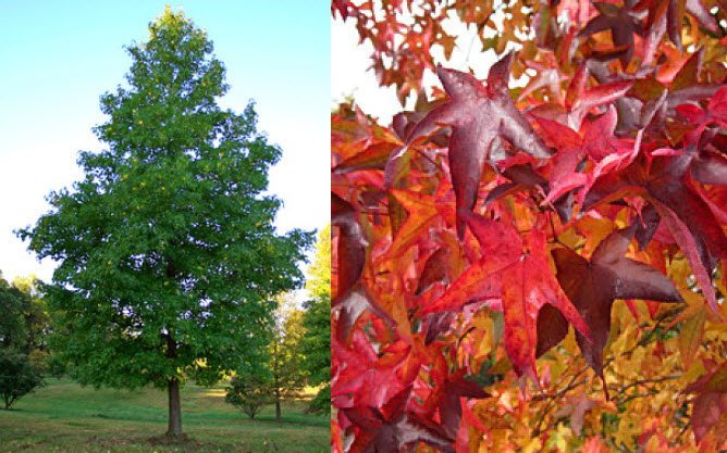 "Liquidambar styracifluaSweetgum - Mature size: 25-30' W x 50-60' HNotes: Large conical tree; star shaped leaves; brilliant fall color; can produce distinctive ""gumball"" fruit when mature"