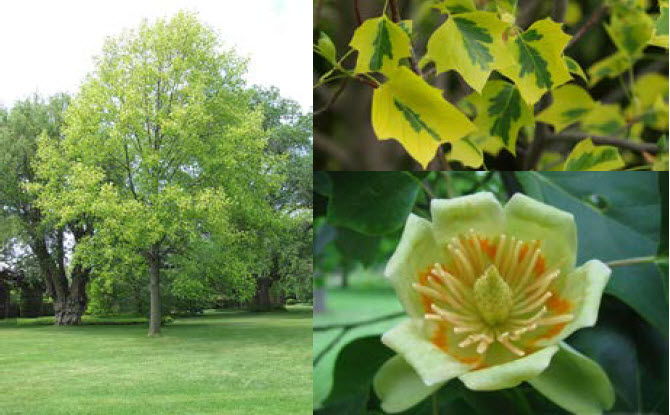 Liriodendron tulipifera 'Aureomarginatum'Gold Variegated Tuliptree - Mature size: 25-30' W x 40-60' HNotes: Large, pyrimidal tree with greenish-yellow flowers in late spring; striking yellow and green variegated leaves in spring eventually mature to solid green; yellow fall color