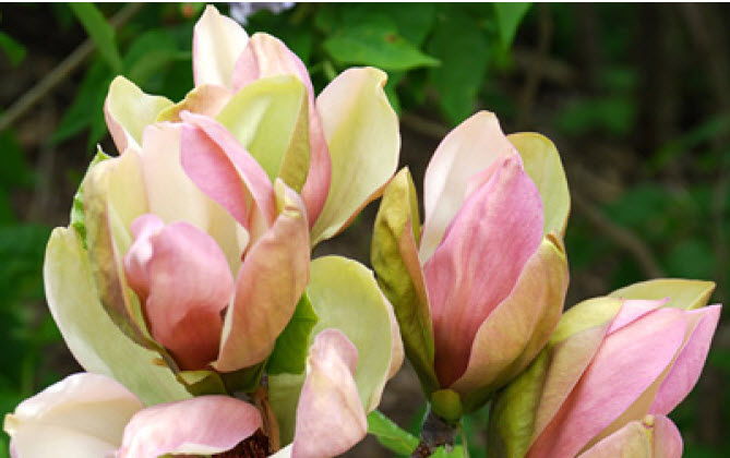 Magnolia x brooklynensis 'Woodsman'Woodsman Magnolia - Mature size: 10-15' W x 10-15' HNotes: Small tree with medium green, oval shaped leaves; large flowers in gorgeous shades of soft pink, yellow, and green in late spring