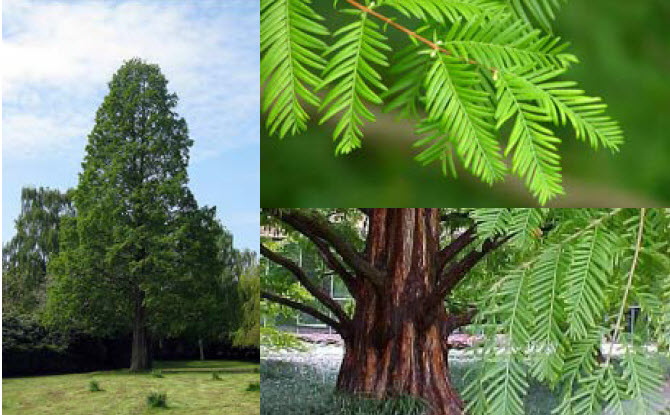 Metasequoia glyptostroboidesDawn Redwood -