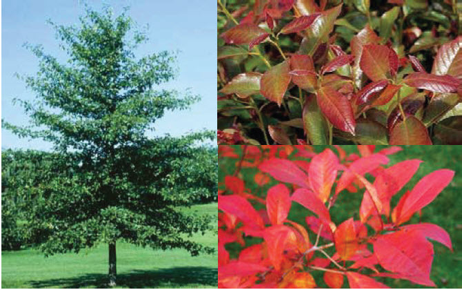 Nyssa sylvatica 'Wildfire'Black gum - Mature size: 20-30' W x 30-50' HNotes: Medium sized tree; new foliage emerges burgundy in spring, maturing to a glossy green; spectacular fall color in shades of yellow, orange, scarlet and purpleOxydendrum