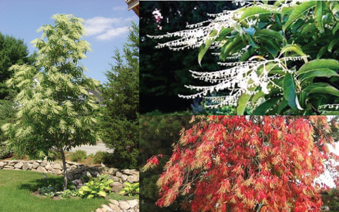 Oxydendrum arboreumSourwood - Mature size: 20' W x 25' HNotes: Glossy green foliage turns a vivid scarlet in fall; small white clusters of flowers in summer
