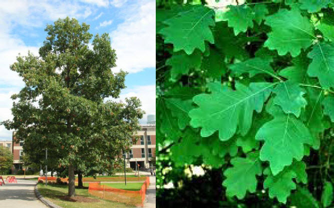 Quercus albaWhite Oak - Mature size: 45-50' W x 60-80' HNotes: Large, broad shade tree; leathery, round-lobed leaves; acorns