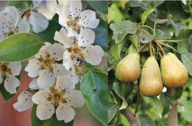 Pyrus (Dwarf/Semi-Dwarf, variety TBD based on availability)Fruiting Pear -