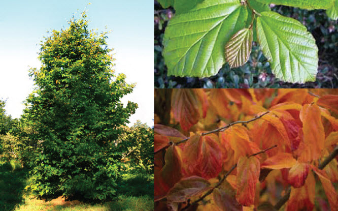 Parrotia persicaParrotia - Mature size: 15-30' W x 20-40' HNotes: Medium sized specimen tree; attractive leaves turn brilliant shades of yellow, orange and scarlet in fall; beautiful exfoliating bark