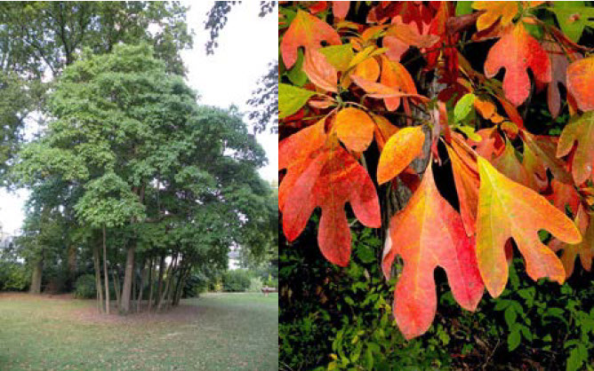 Sassafras albidumSassafras - Mature size: 15-25' W x 20-40' HNotes: Medium sized tree with picturesque branching habit; attractive large-lobed leaves; spectacular orange to scarlet fall color