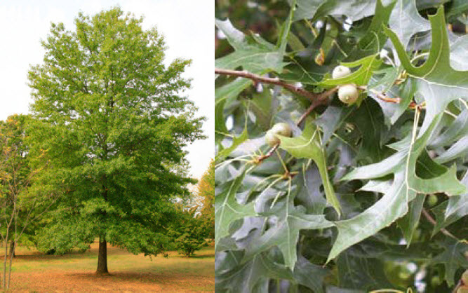 Quercus palustrisPin Oak - Mature size: 25-40' W x 60-70' HNotes: Large, pyrimidal tree; lower branches grow downwards; fast growing