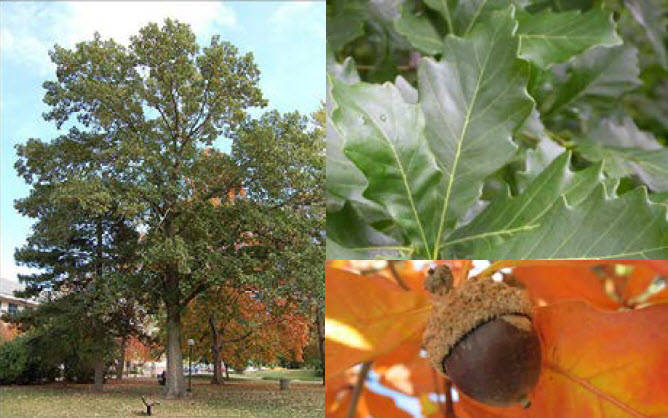 Quercus bicolorSwamp White Oak - Mature size: 40-50' W x 50-60' HNotes: Large stately tree with a broad, rounded habit; round lobed leaves; yellow-toned fall color; acorns in fall