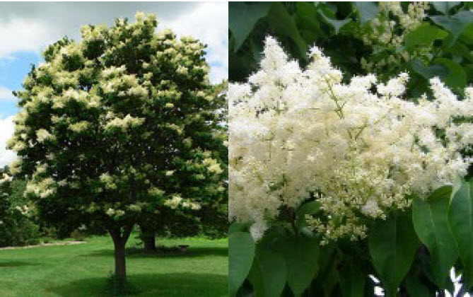Syringa reticulataJapanese Tree Lilac - Mature size: 15-25' W x 25' HNotes: Medium sized, rounded tree; creamy white clusters of flowers in June and July