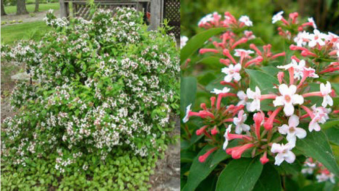 Abelia 'Mosanensis'Fragrant Abelia - Mature size: 4-6' W x 4-6' HNotes: Rounded, multi-stemmed deciduous shrub; fragrant, tubular pink and white blooms in late spring; good fall color