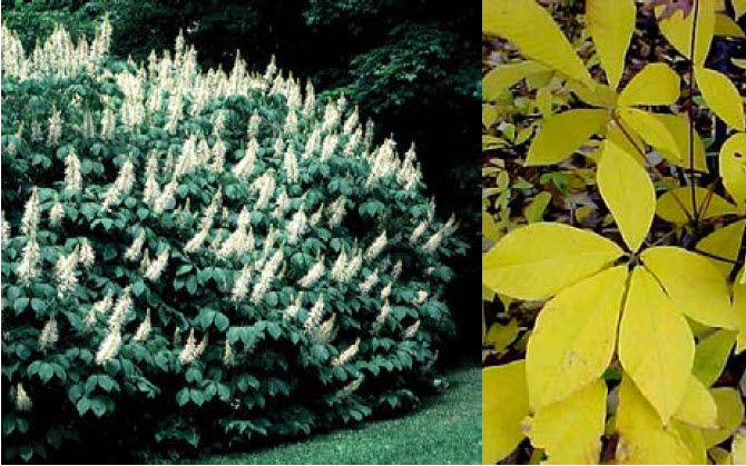 Aesculus parvifloraBottlebrush buckeye - Mature size: 8-15' W x 8-12' HNotes: Dense, mounded, multi-stemmed shrub with large, coarse foliage; showy cones of white flowers in early summer; yellow fall color