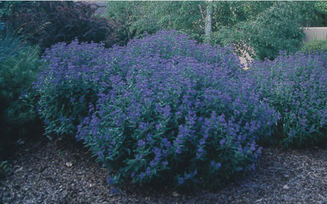 Caryopteris 'Dark Knight'Bluebeard -