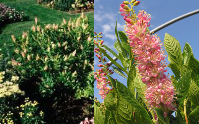 Clethra alnifolia 'Ruby Spice'Summersweet -