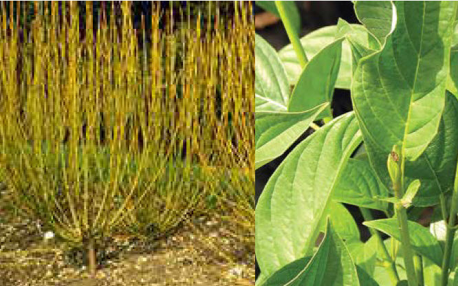Cornus alba 'Bud's Yellow'Yellow Twig Dogwood - Mature size: 5-6' W x 6-8' HNotes: Large, thicketing shrub with upright, bright yellow stems in winter; small clusters of white flowers in spring; good for wet sites