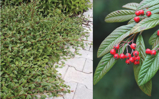 Cotoneaster salicifoliusWillowleaf Cotoneaster - Mature size: 4-5' W x 1-1.5' HNotes: Low growing, spreading shrub; profusion of scarlet-red berries; semi-evergreen