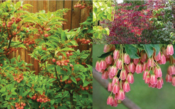 Enkianthus campanulatusRedvein Enkianthus - Mature size: 5-6' W x 6-8' HNotes: Lovely upright shrub reminiscent of a Rhododendron; clusters of cup shaped yellow to red flowers in late spring; fall foliage in brilliant shades of yellow, orange and red