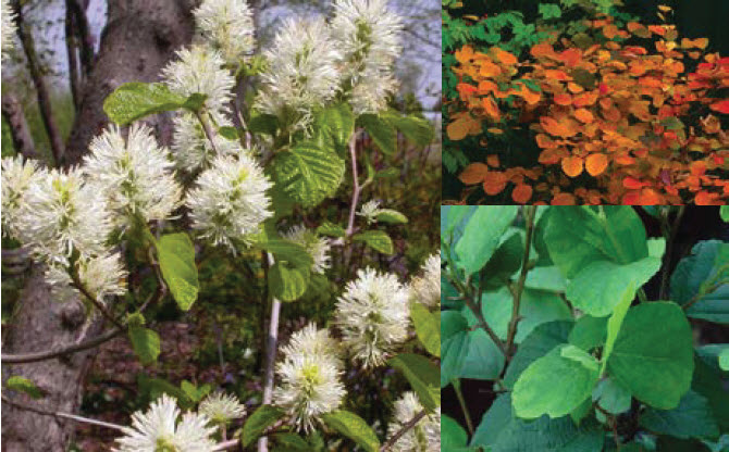 Fothergilla majorLarge Fothergilla - Mature size: 4-6' W x 6-8' HNotes: Attractive green leaves; white bottlebrush flowers in spring; excellent fall color