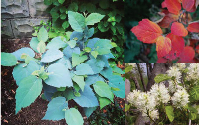 Fothergilla x intermedia 'Blue Shadow'Fothergilla - Mature size: 3-5' W x 4-6' HNotes: Striking blue-green leaves with a powdery look; white bottlebrush flowers in spring; showy fall color