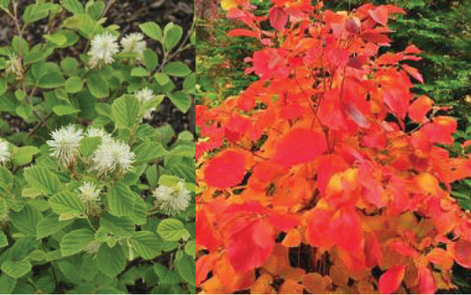 Fothergilla x intermedia 'Red Licorice'Fothergilla -