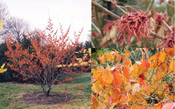 Hamamelis 'Georges'Witch Hazel -