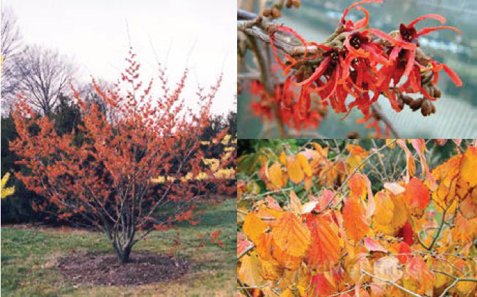 Hamamelis x intermedia 'Diane'Witch Hazel -