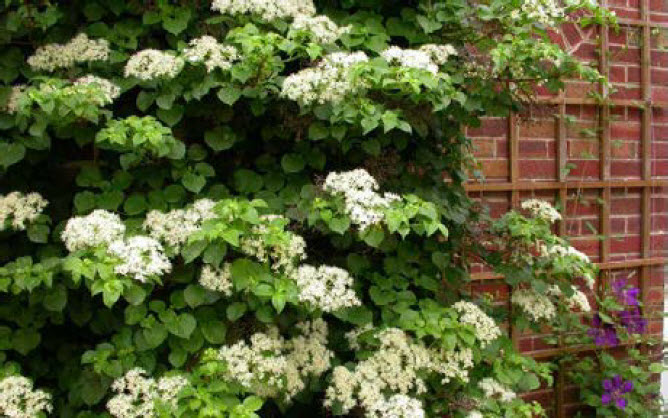 Hydrangea anomola subsp. petiolarisClimbing Hydrangea - Mature size: 5-6' W x 30-50' HNotes: Attractive climbing shrub to train on walls, trellises, and fences; showy white flowers in early summer