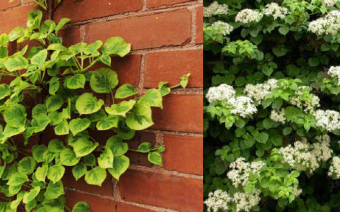 Hydrangea anomola subsp. pet. 'Miranda'Variegated Climbing Hydrangea - Mature size: 5-6' W x 30-50' HNotes: Attractive climbing shrub; new leaves have yellow edges with green centers that eventually mature to cream and green tones; showy white flowers in early summer