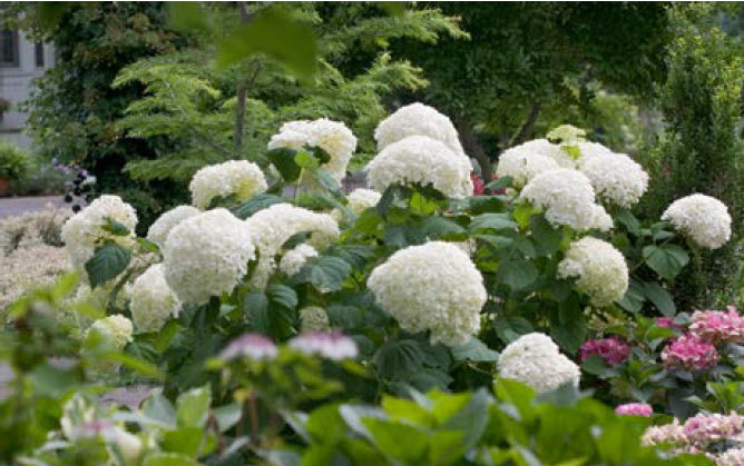 Hydrangea arborescens 'Incrediball'Smooth Hydrangea - Mature size: 4-5' W x 4-5' HNotes: Large, long lasting showy blooms in summer; dark green foliage; blooms on new wood
