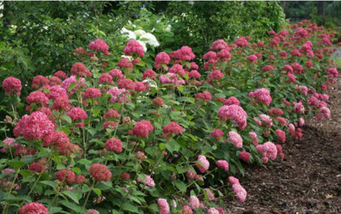 Hydrangea arborescens 'Invincibelle Spirit'Invincibelle Spirit Hydrangea - Mature size: 3-5' W x 3-5' HNotes: Large, long lasting showy blooms in summer emerge dark pink, maturing to clear pink, and gradually fading to green; dark green foliage; reblooms
