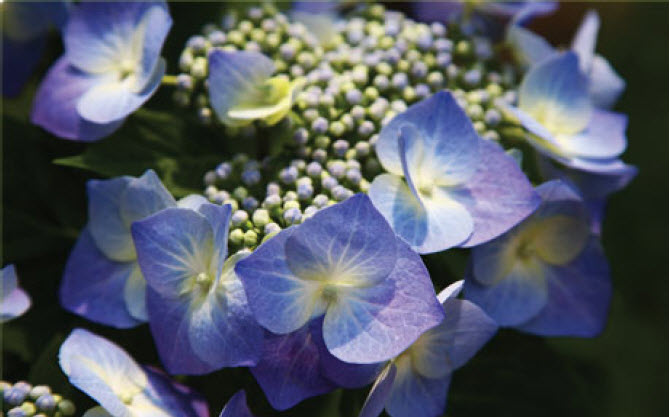 Hydrangea macrophylla 'Blue Cassell'Blue Cassel Hydrangea - Mature size: 3-4' W x 3-4' HNotes: Large lacecap shaped flowers in pink or deep blue; long lasting flowers in mid summer; blooms on old or new wood