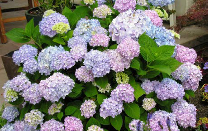 Hydrangea macrophylla 'Endless Summer'Endless Summer Hydrangea -