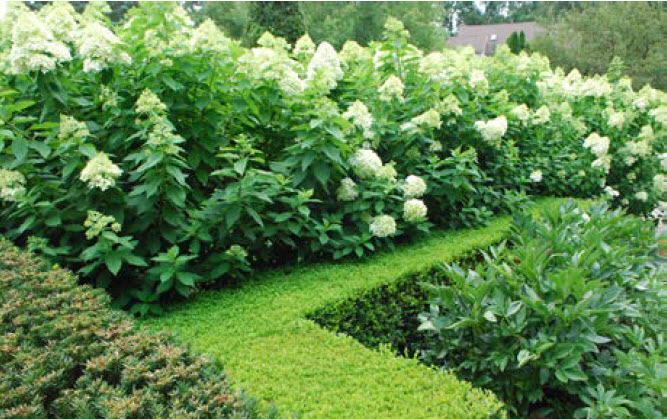 Hydrangea paniculata 'Limelight'Panicle Hydrangea - Mature size: 6-8' W x 6-8' HNotes: Bright, lime-green flowers in late summer; glossy green foliage; mounded form