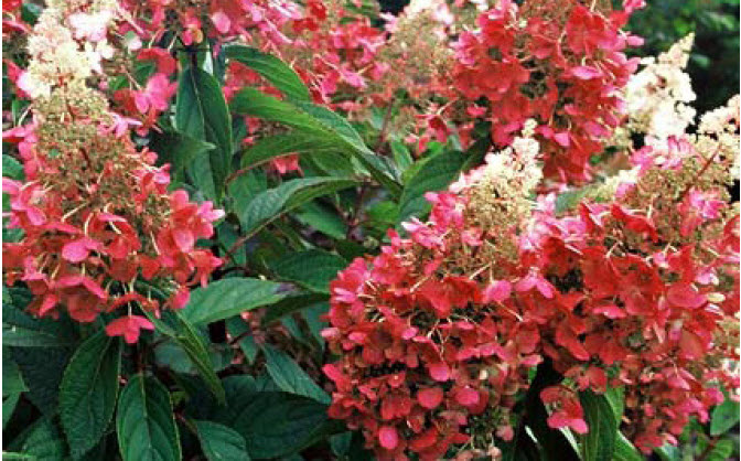 Hydrangea paniculata 'Pinky Winky'Panicle hydrangea - Mature size: 5-6' W x 6-8' HNotes: Large flowers change from white to deep pink from July-September; provides dense screening
