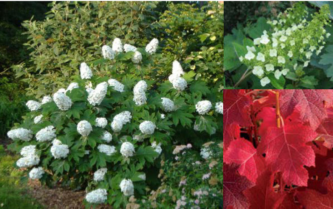 Hydrangea quercifoliaOakleaf Hydrangea - Mature size: 6-8' W x 6-8' HNotes: Long lasting white flowers in summer; coarse textured foliage; showy fall color