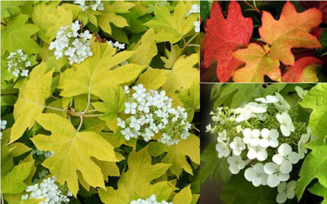 Hydrangea quercifolia 'Little Honey'Dwarf Oakleaf Hydrangea - Mature size: 4-5' W x 3-4' HNotes: Long lasting white flowers in summer; large-leaved, coarse textured foliage emerges golden yellow in spring, gradually fading to chartreuse and then green by early fall; crimson red fall color